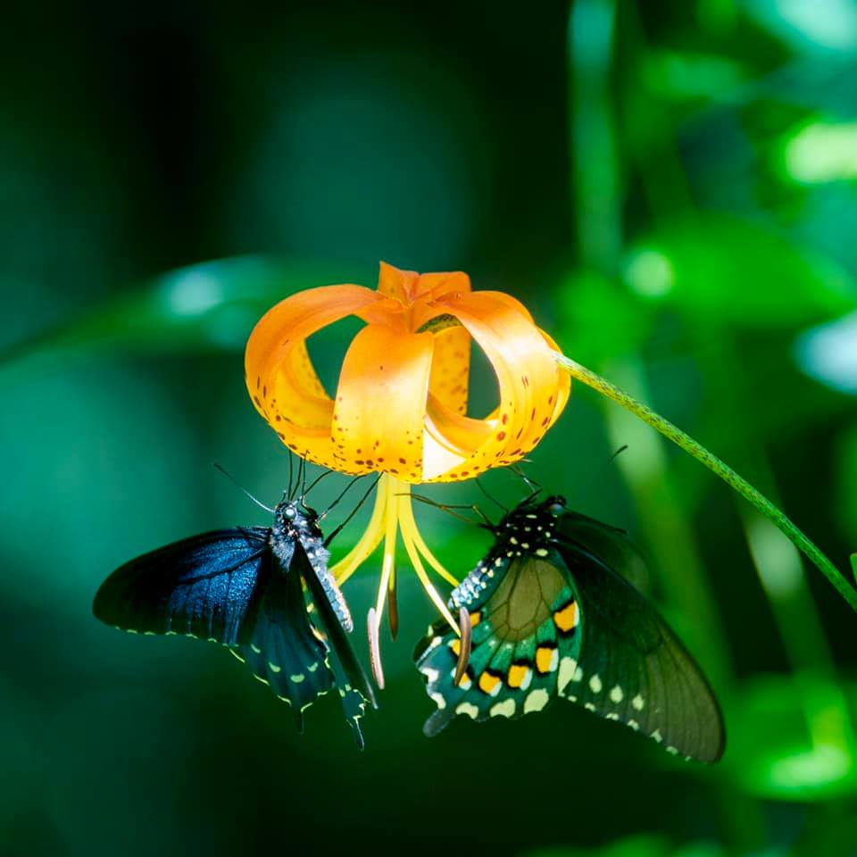 Butterfly on a Turk's Cap Lily.